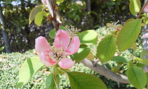 かりんの花17.4.15.jpg