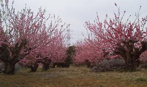 桃の花17.3.19.jpg