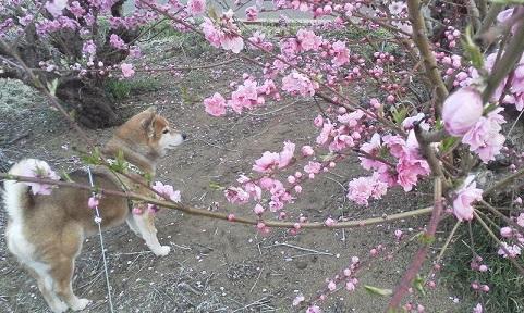 桃の花&蕾17.3.19.jpg
