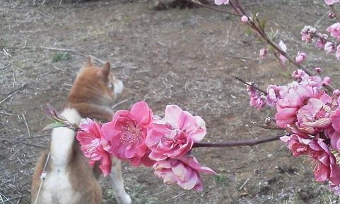 桃の花UP17.3.19.jpg