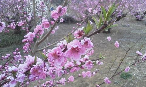 桃の葉17.3.19.jpg