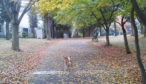 落ち葉道17.11.15.jpg