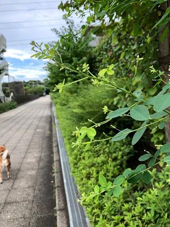 萩の若葉18.9.7.jpg